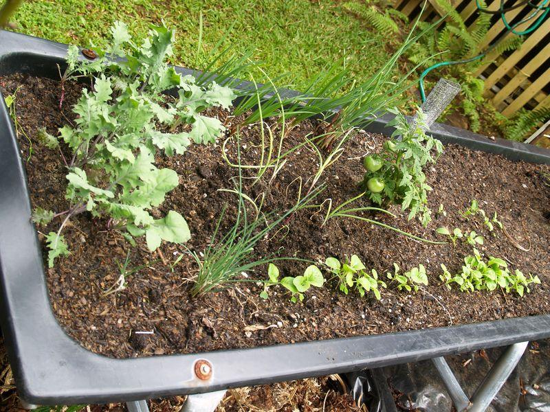 Pig trough planting area 6 - kale, tomato, chives, onions, lettuce