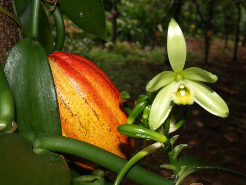 Cacao - pod and vanilla orchid