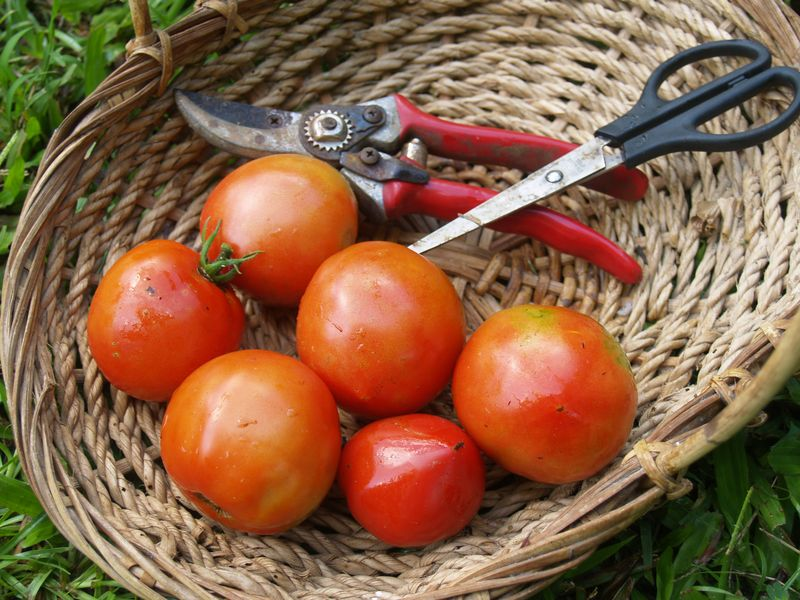 Garden - trough - tomato harvest