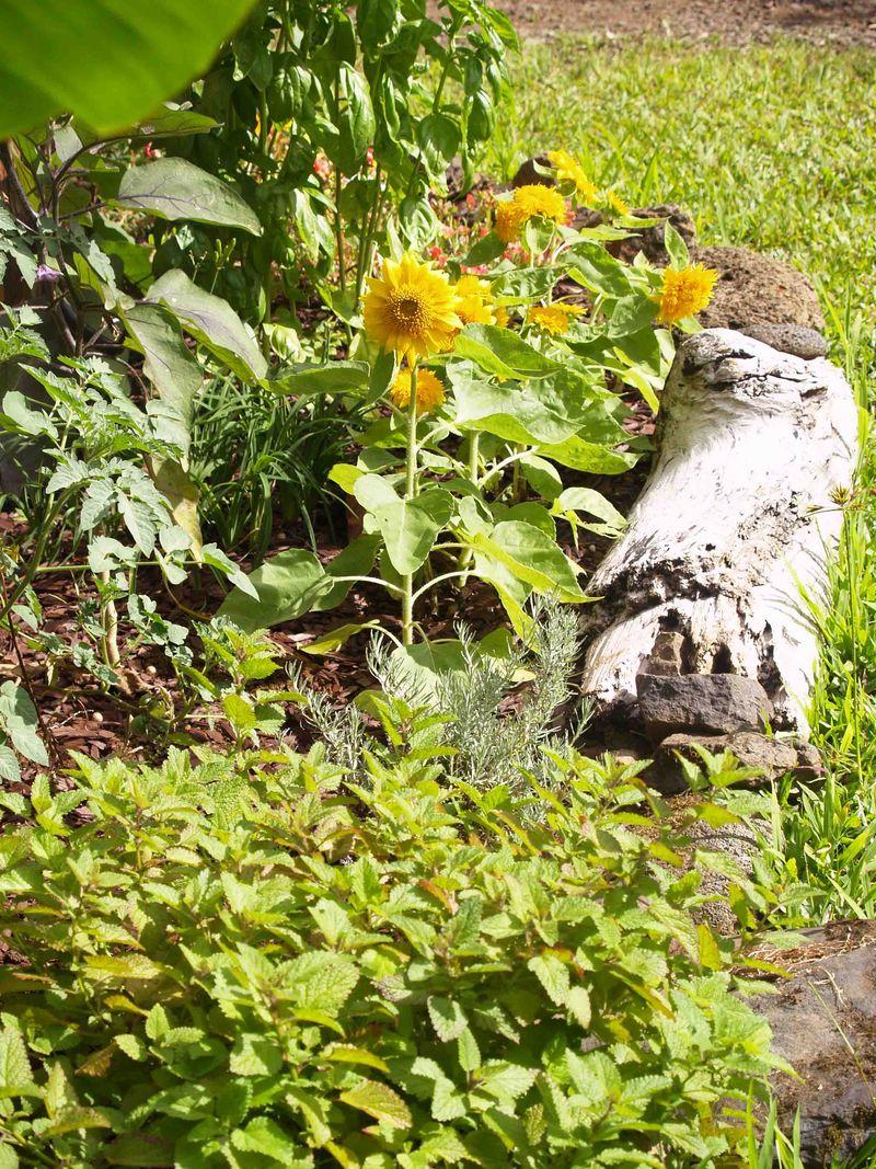 Garden - Dwarf Sunflowers