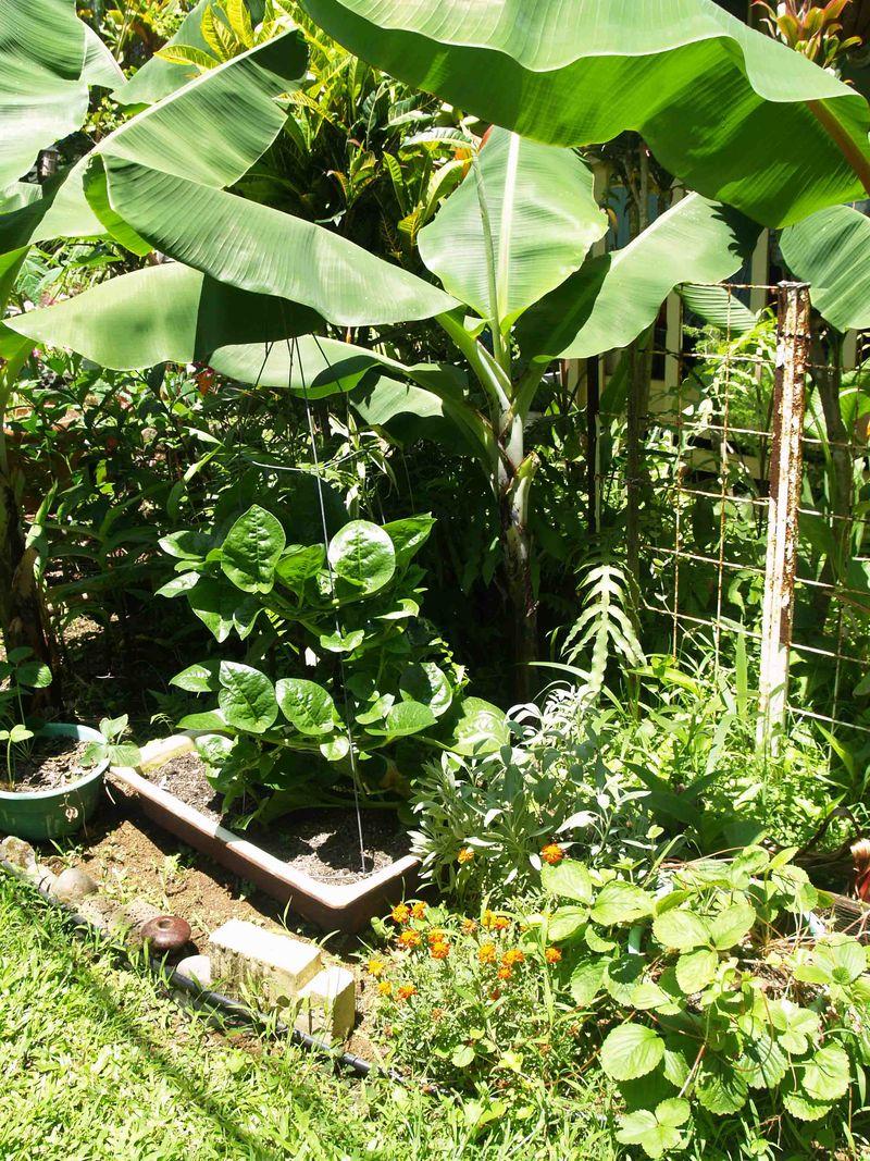 Garden - July - Lanai side - bananas, Malabar, etc