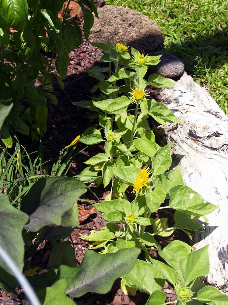 Garden - July - behind cabin - mini sunflowers