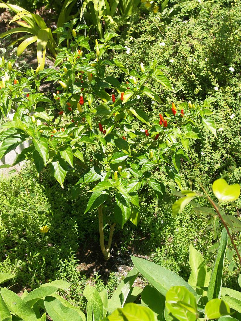Garden - July - kitchen side - Hawaiian chiles