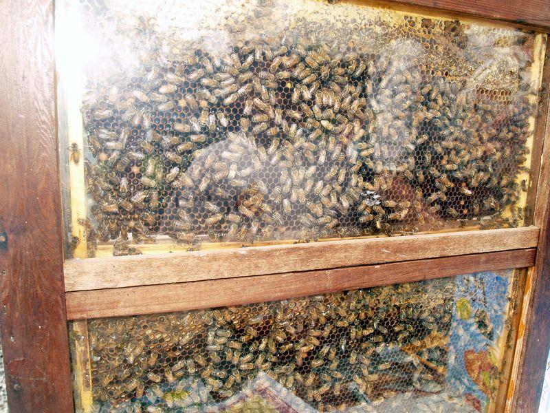 Bee - live hive