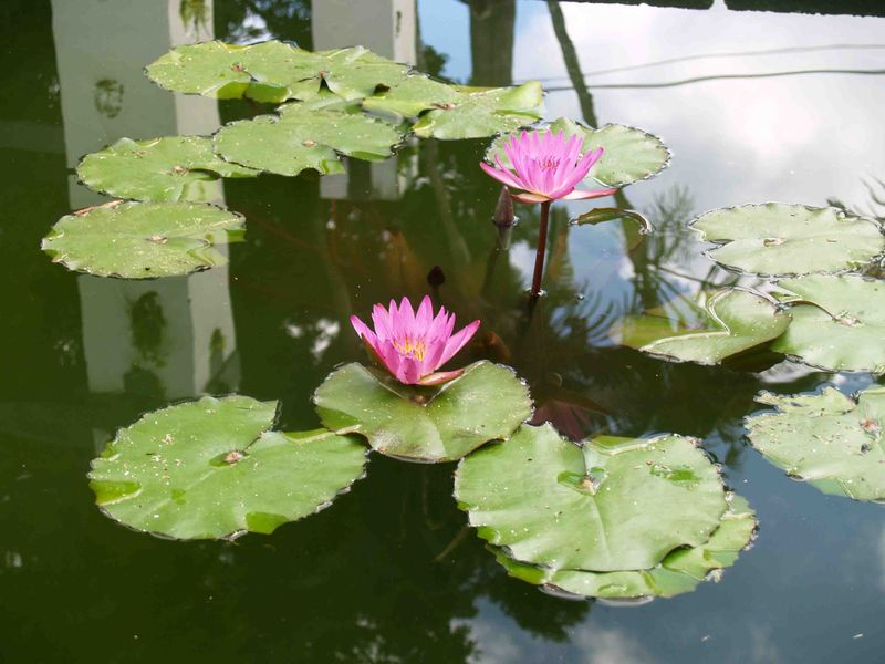 CNY - Water lilies in the Korean Memorial reflection pool