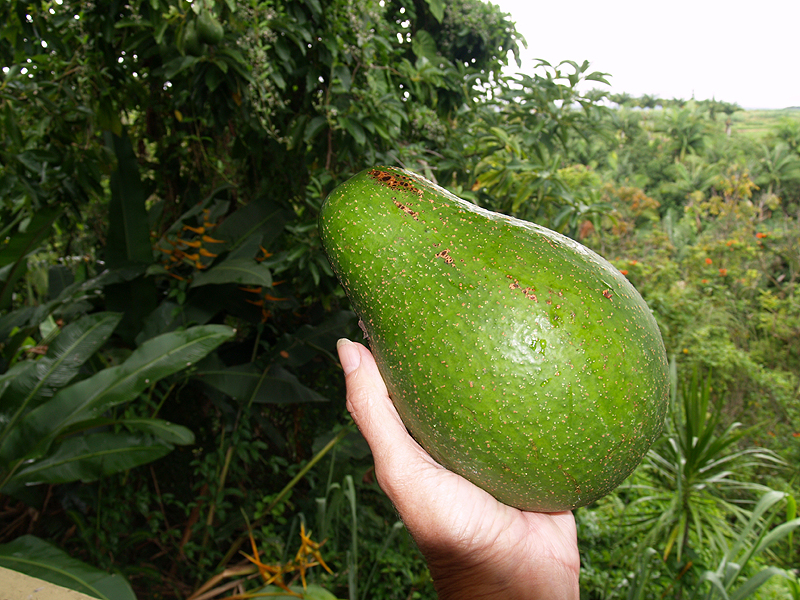 Avo from tree by house 1