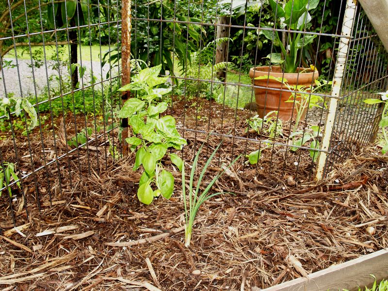 Bed #1 - Tomato and Basil