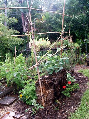 Garden 2010 - Tropical limas growing in straw bale 1