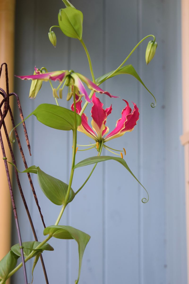 GARDEN - Gloriosa Lily 3 sm