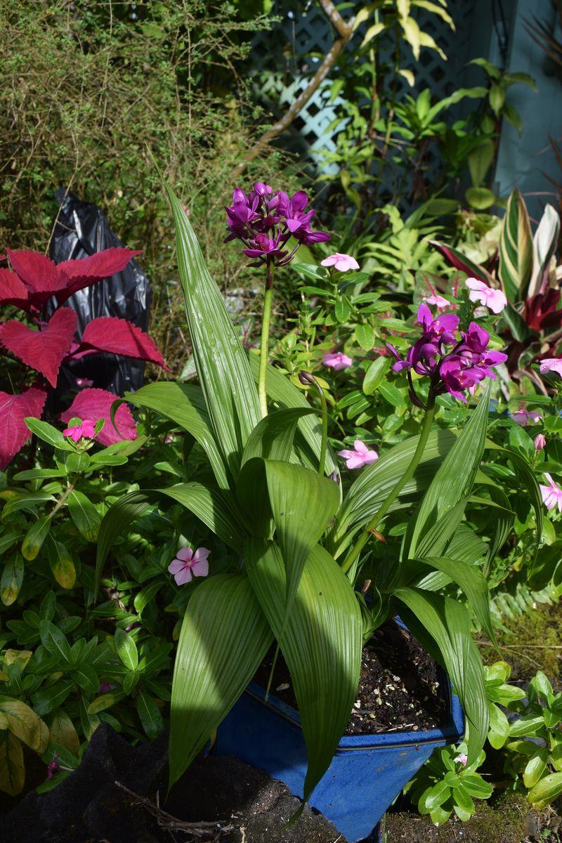 GARDEN - terrestial orchids open blooms sm