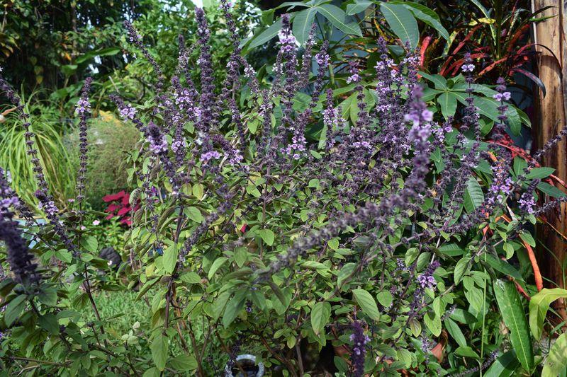 Garden - Thai basil  sm