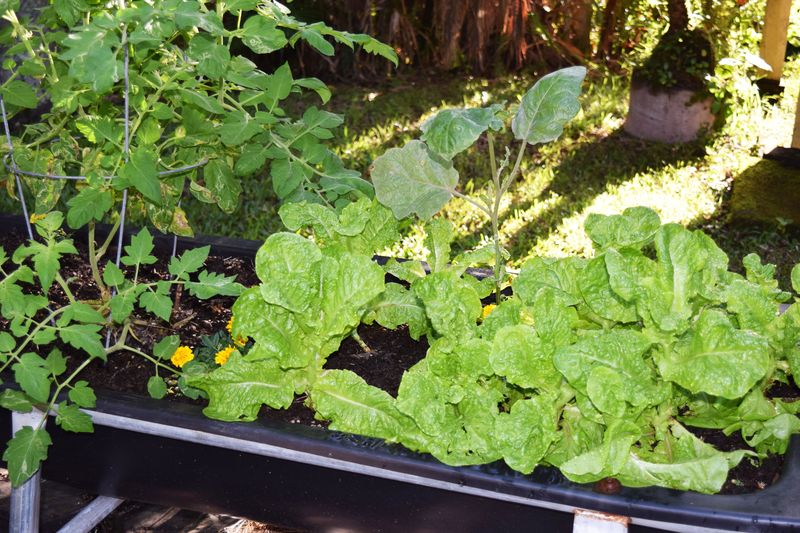 Garden 3-1-15 - Trough - Manoa lettuce & tomato sm
