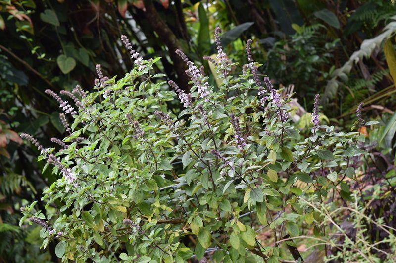 Garden - Thai basil