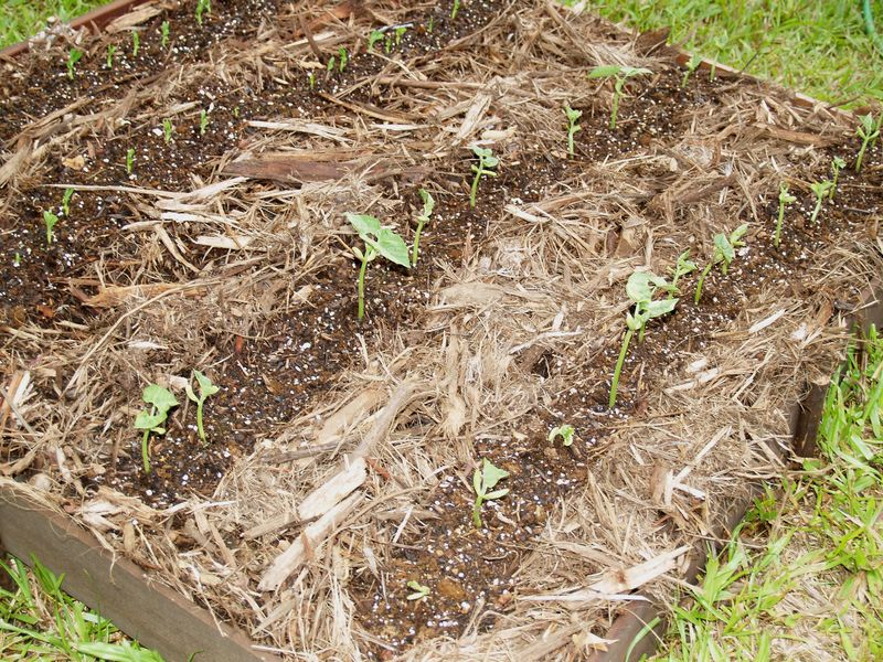 #8 Bed - Snap beans and bush beans