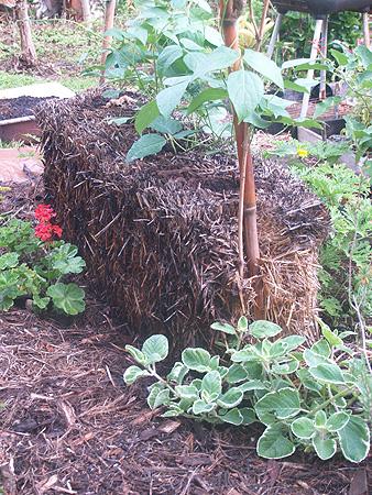 Garden 2010 - Tropical limas growing in straw bale 3