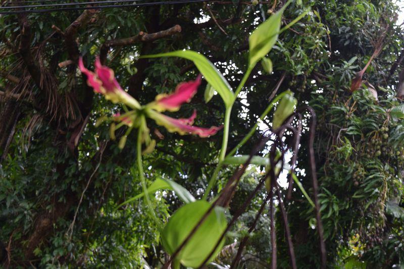 GARDEN - Gloriosa Lily