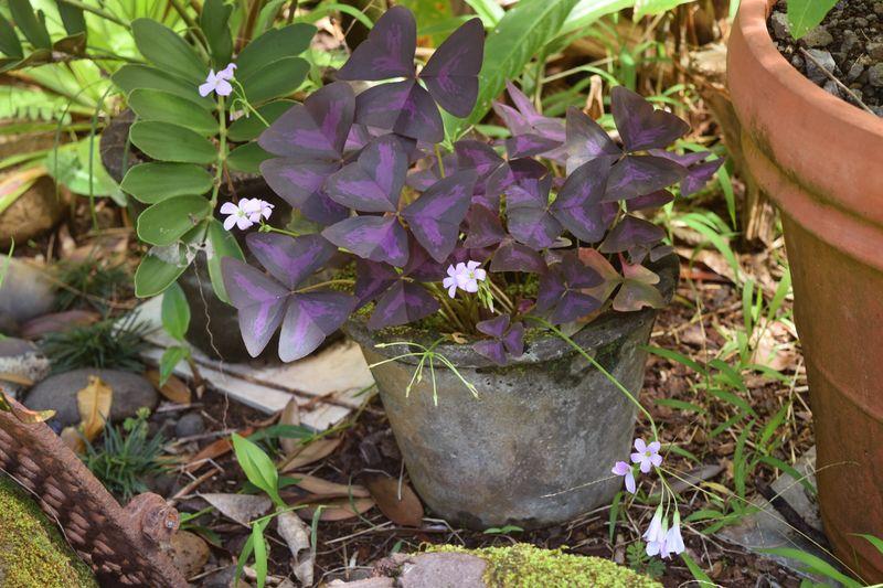 Garden - Oxalis triangularis - aka purple shamrock 6 sm