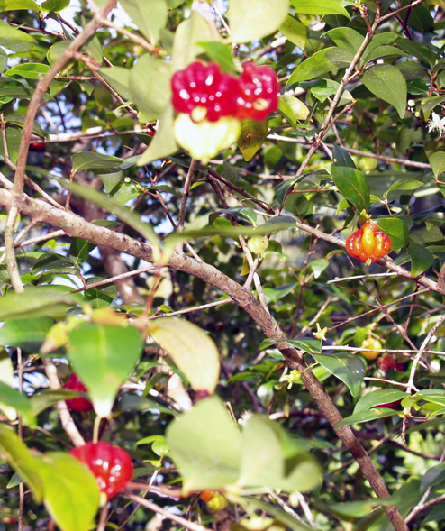 Surinam Cherries - misc - smaller