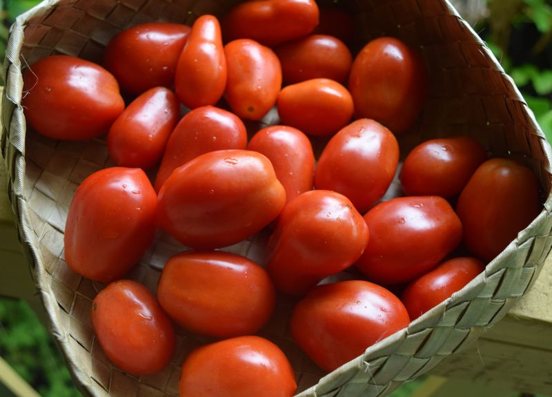 GARDEN - tomato harvest 5-17-15 sm
