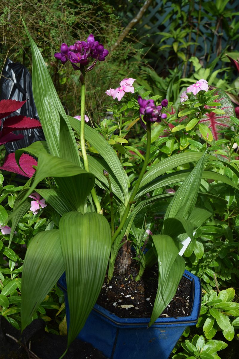 GARDEN - terrestial orchids blooming sm