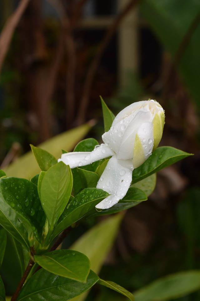 Garden - gardenia opening