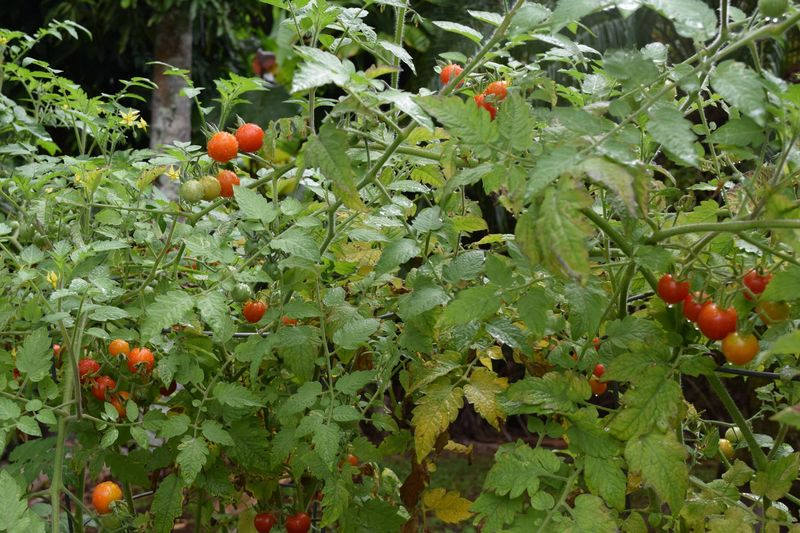 Garden - grape tomatoes 2