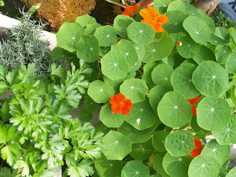 Garden - PT Area 2 - parsley, nasties and curry plant