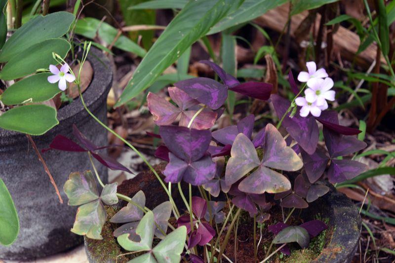 Garden - Oxalis triangularis - aka purple shamrock 5 sm