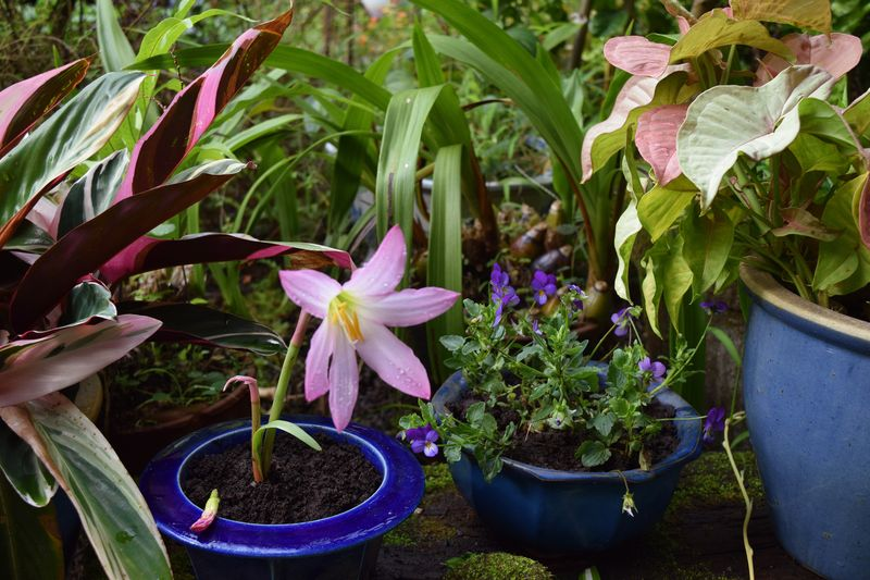 Garden - Blushing Pink Rain Lily and Violets - sm