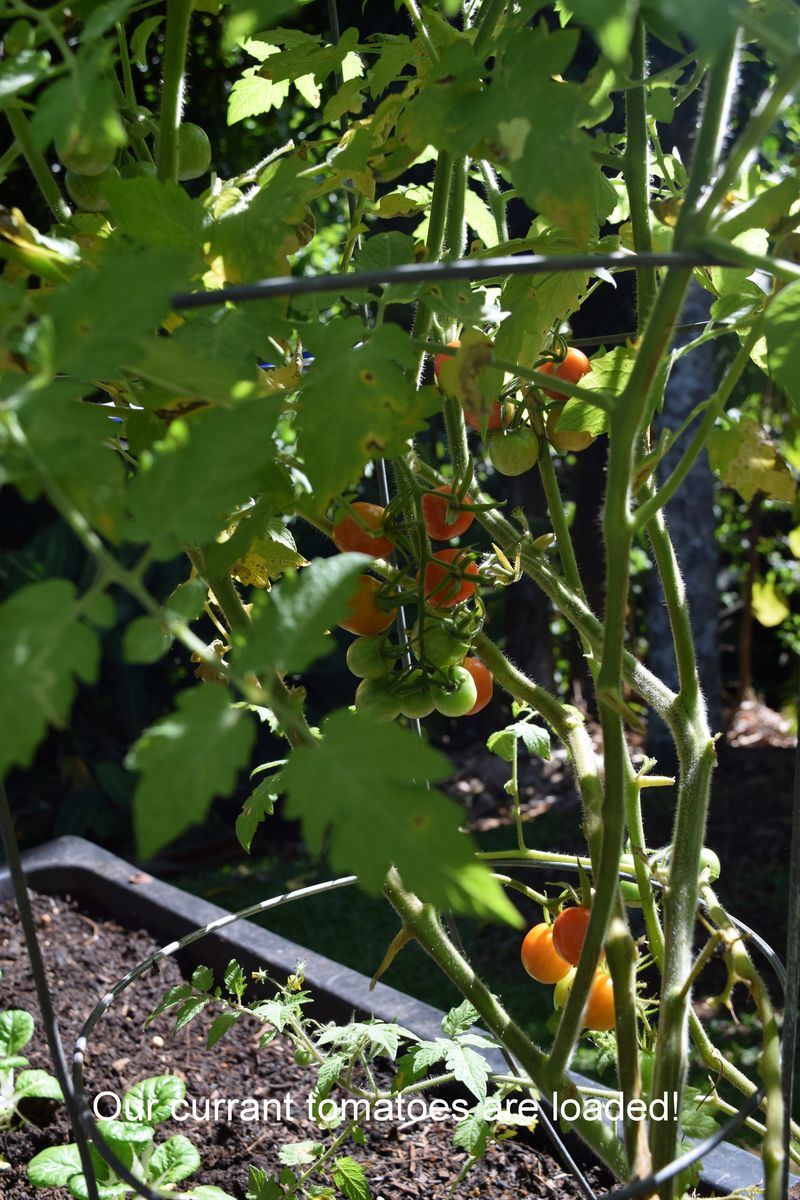 Garden - Currant tomatoes