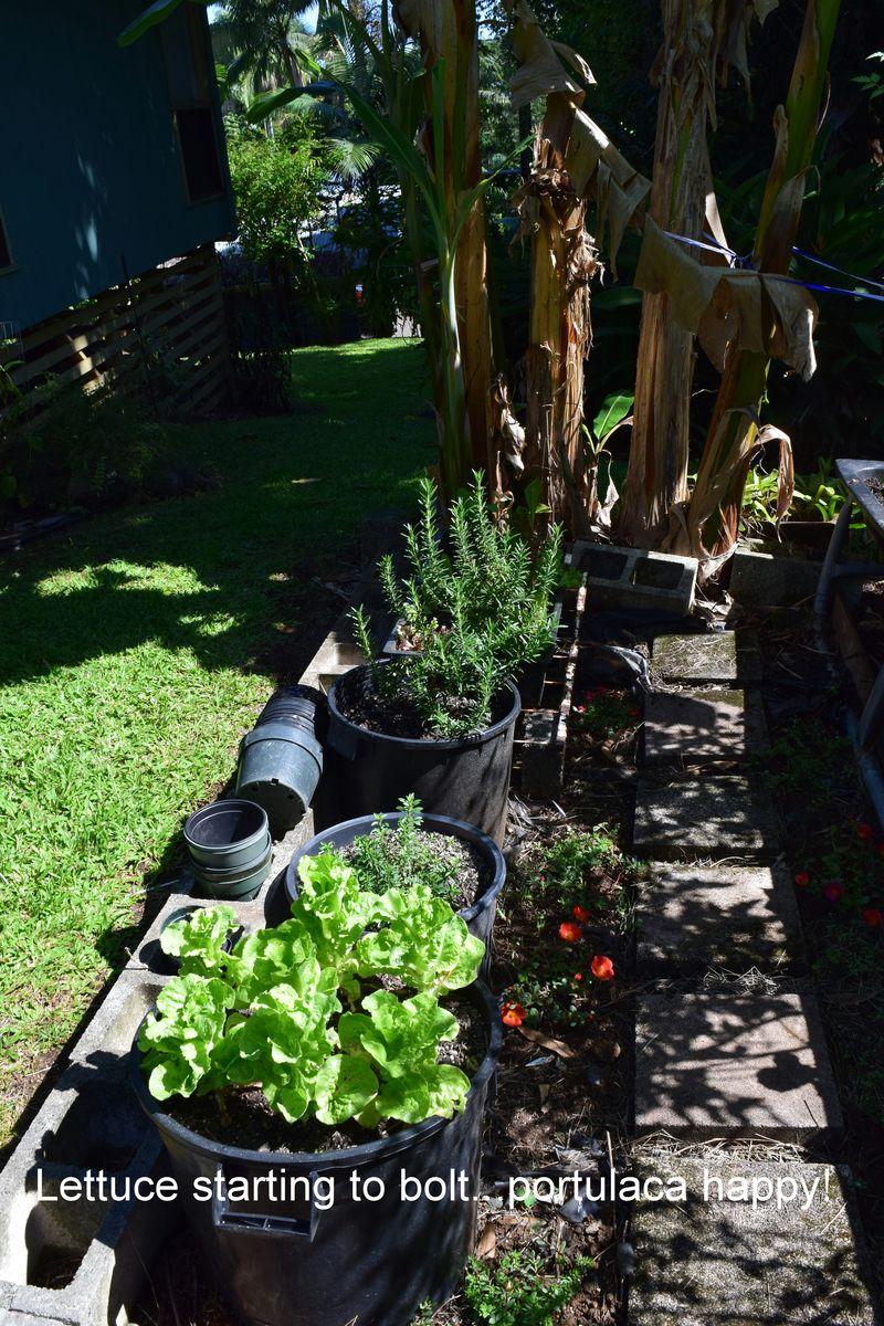 Garden - lettuce n portulaca