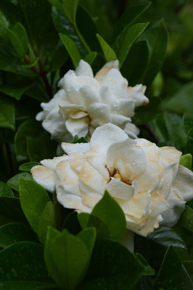 Garden - spent gardenias