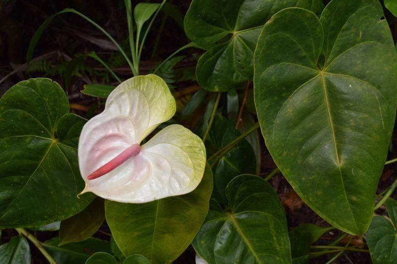 Garden - anthurium