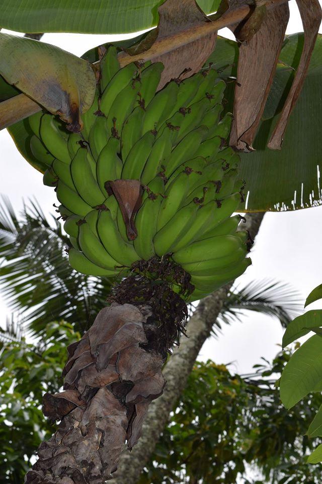 Garden - banana