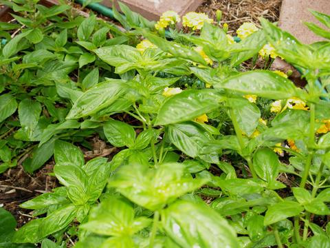 Basil  marigolds and pineapple sage