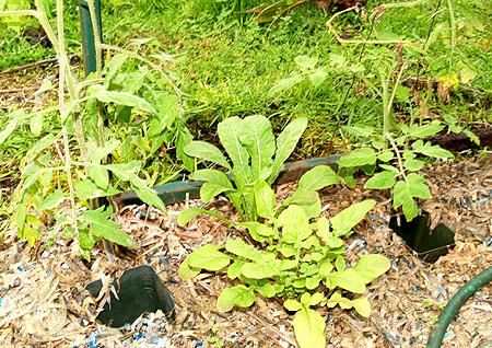 Garden 2010 - heirloom tomato and arugula
