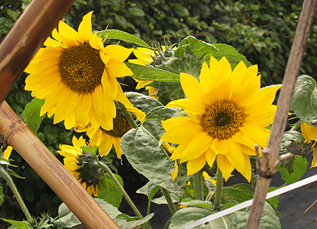 Mala'ai Garden - Sunflowers - 1 sm