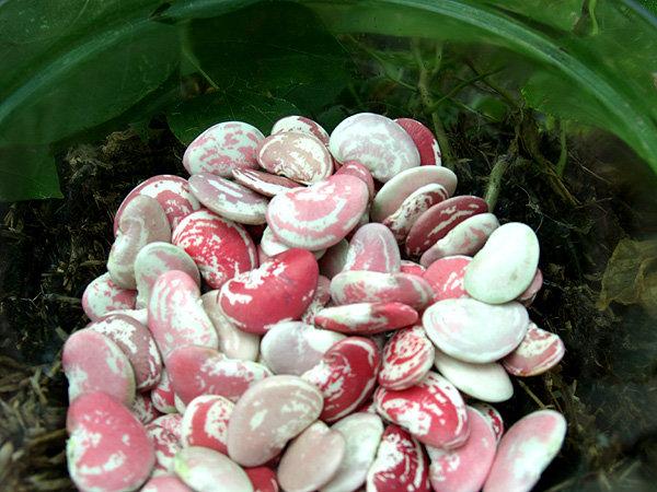 Tropical lima beans