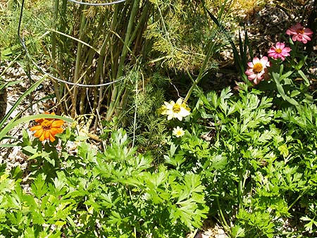 GARDEN - Parsley  zinnias and dill in background