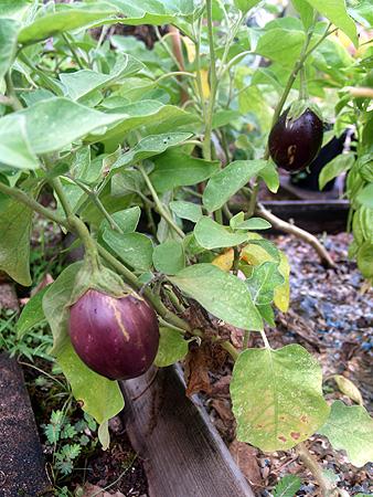 Garden 2010 - Eggplants