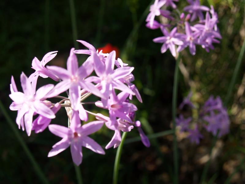 GARDEN - Garlic Chives - blooms lg