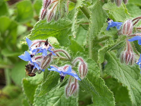 Mala'ai Garden - Borage and bee