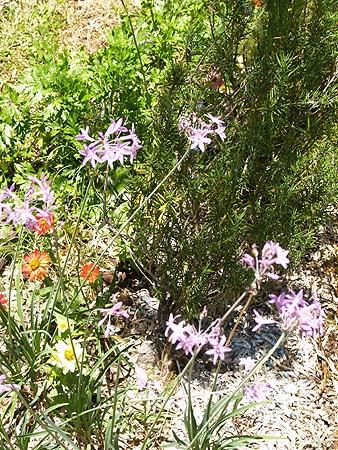 GARDEN - rosemary  garlic chives  zinnias and parsley