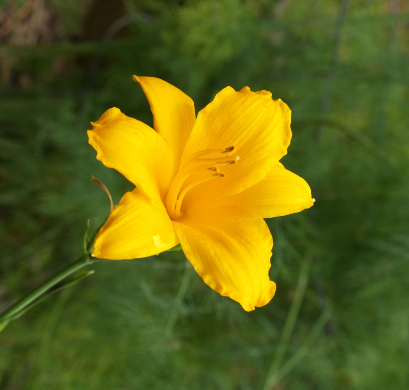 GARDEN - Mini daylily - Dill in background