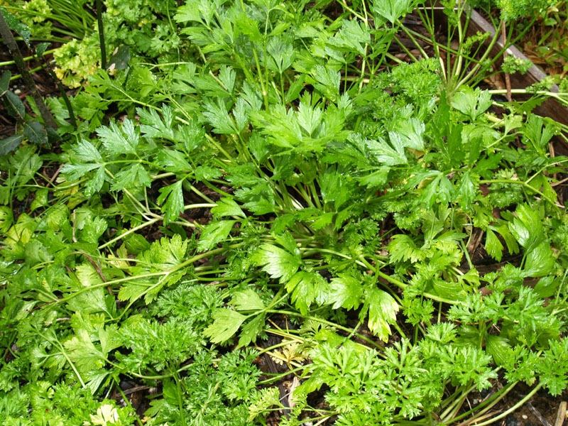 Parsley_bed