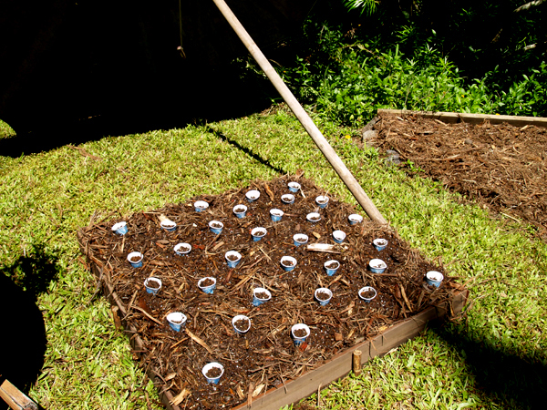 Bed #5 - corn seeds planted in paper cups
