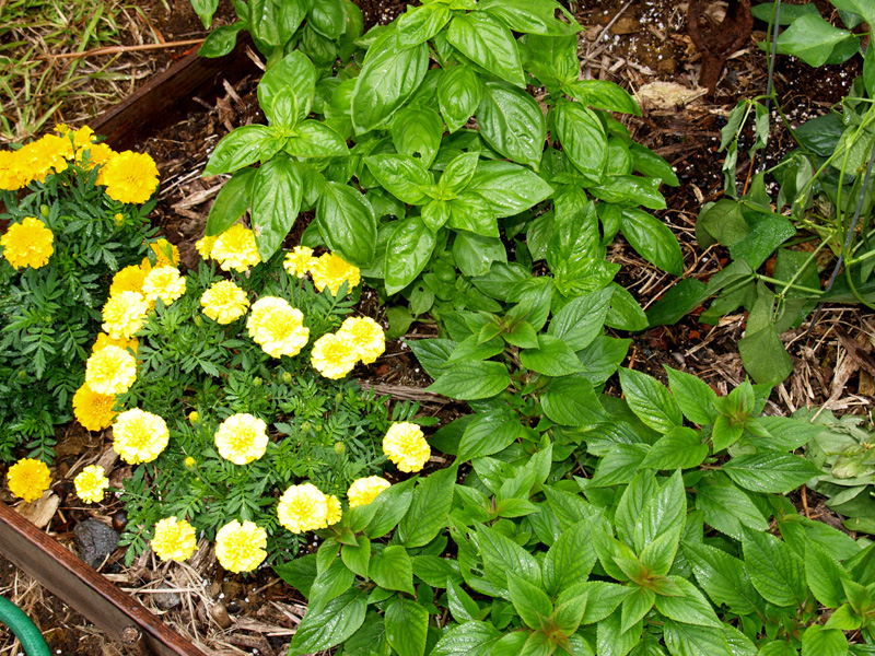 Basil  Marigolds and Pineapple Sage