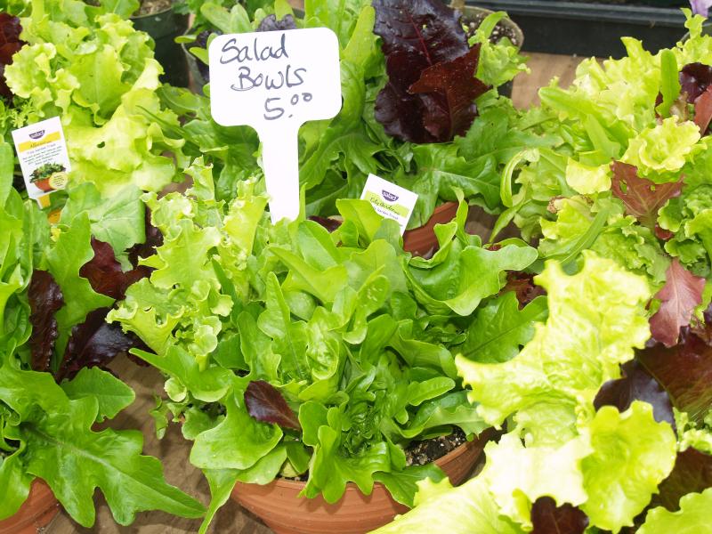 Waimea HFM - Salad Bowls - ESP Nursery - lg