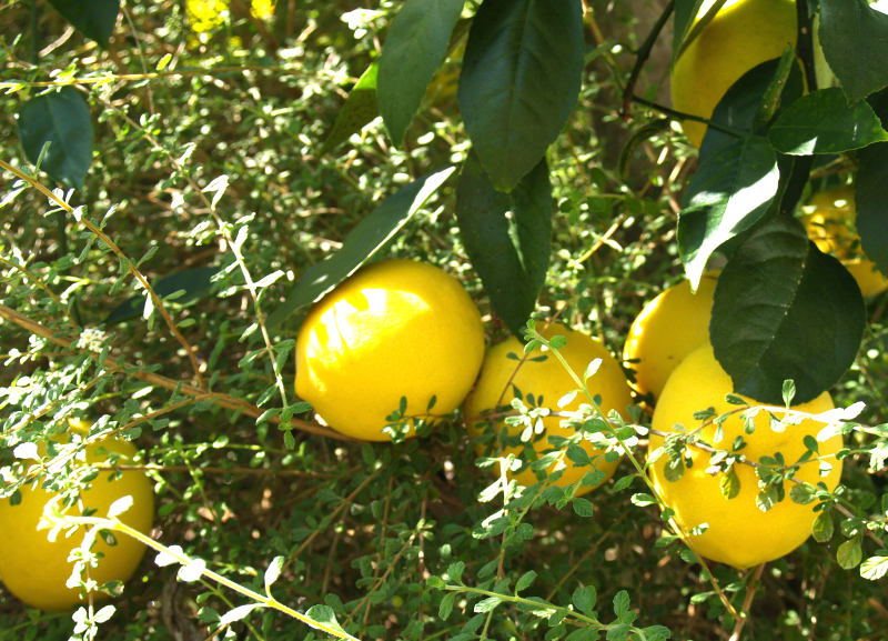 Meyer Lemons on tree 1