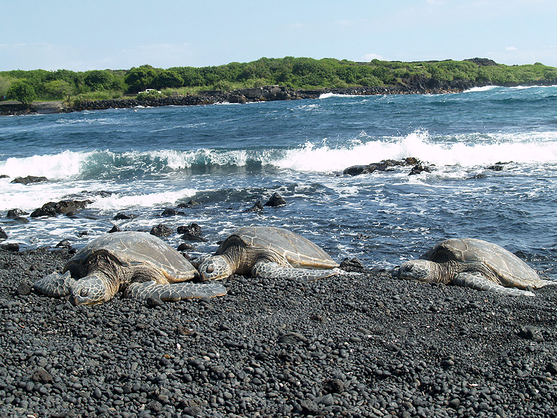 Sunning Turtles - Punaluu Black Sand Beach